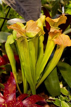 Peridot coloured cobra lilies by @Papillon Photography