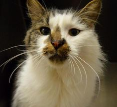 Name Smudge Age 4 Years Breed Dmh Black Brown Tabby W White