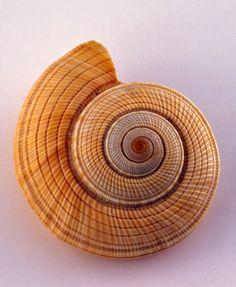 Shell, beautiful (Fibonacci) shell!