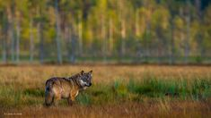 Title: Wolf momentPhotographer: Lasse KurkelaCollection: Wildlife Photographer of the Year MammalsCopyright: WOLF MOMENT © Lasse Kurkela (Finland) 2013 Photo Animaliere, Weird Gif, Types Of Photography, Lone Wolf, Natural History, Wildlife Photography, Belle Photo, Remote, Funny Pictures