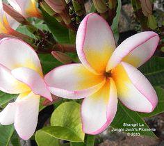 SHANGRI LA - Jungle Jacks Plumeria (WANT)