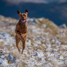 Ruby got a little excited when we reached the snow line ⛄️☀️ @edenpetfoods  #dog #dogsofinstagram #vizsla #vizslagram #vizslasofinstagram #vizslasofinstagram101 #hungarianvizsla #lakedistrict