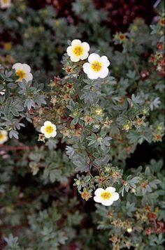 shrubby cinquefoil  Potentilla fruticosa 'Vilmoriniana'