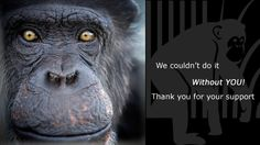 This organization has saved hundreds of chimps from various places around the world . Check out their website and the many chimpanzees and their families . Purchase original artwork and prints created by the chimps . Help save the Chimps!