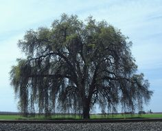 Valley Oak Tree - Tulare County, California