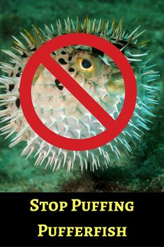 We've all seen images of an adorably puffed-up pufferfish, but in reality, divers and divemasters do real harm when they cause these fish to puff up.