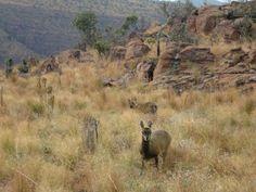 Klipspringertjes in Marakele National Park, Zuid-Afrika (Trudi)
