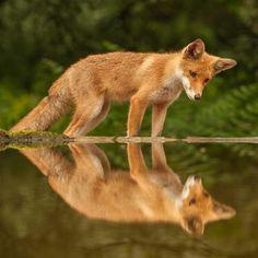 Reynard reflection. Beautiful!