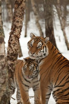 *Tigers (by CMGW Photography)
