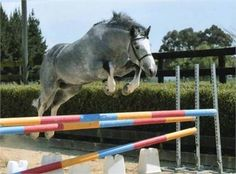 jesnen - Adorable irish sport horse for sale http://www.equineclassifieds.co.uk/Horse/adorable-irish-sport-horse-for-sale-listing-954.aspx#.U_MWUqMTCZY