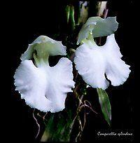 Studarettia splendens. A species orchid (color)