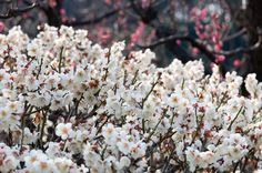 I'm looking forward to using some in the coming weeks! White Plum, What Is Coming, Fantasy Wedding, Something Blue, Cut Flowers, Blossoms, Beautiful Flowers, February, Wallpapers