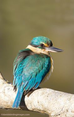 Sacred Kingfisher (Todiramphus sanctus) AUSTRALIA, NEW ZEALAND, & other parts of the WESTERN PACIFIC.