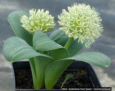 Plant Gallery - Encyklopedia Roślin: Allium karataviense 'Ivory Queen' - Czosnek karatawski