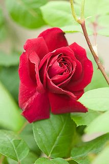 Rose Tess of the D'Urbervilles  | Alan Buckingham on flickr