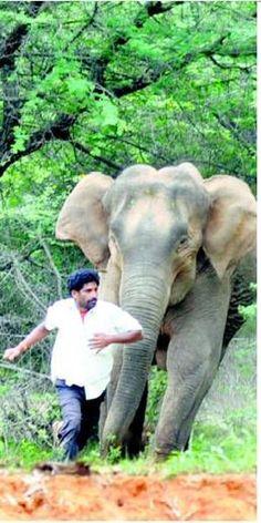 Elephant charge photographed
