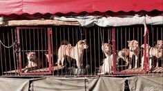 """""""THE ANIMAL HOPE AND WELLNESS FOUNDATION IS THRILLED WITH THE INTRODUCTION OF THE DOG AND CAT MEAT TRADE PROHIBITION ACT""""  As One of The Leading Non-Profit Organizations Against The Rampant Dog Meat Trade In Asia, Our Foundation Initiated The Creation Of A Bi-Partisan Bill Introduced By Congressman Alcee L.Hastings.  March 8, 2017, Los Angeles – Following on the heels of its most recent trip to China to help stop the rampant dog meat trade that exists in Asia, The Animal Hope and Wellness…"""