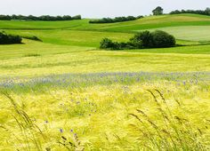 Feld mit Kornblumen Felder, Golf Courses, Heaven, Landscape, Florals
