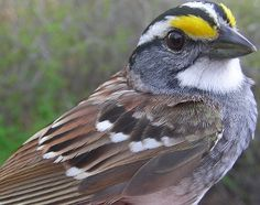 Migration Research Foundation - McGill Bird Observatory - Photo Library - White-throated Sparrow