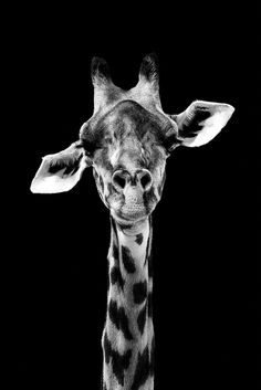 Discover recipes, home ideas, style inspiration and other ideas to try. Jungle Animals, Cute Baby Animals, National Geographic Animals, Giraffe Pictures, Mode Poster, Animals Black And White, Underwater Animals, Giraffe Art, Australian Animals