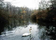 A white swan on the pond in the James A. McFaul Environmental Center in Wyckoff.