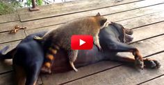 Normally I Wouldn't Call A Raccoon Cute, But This Video Proves Otherwise! | The Animal Rescue Site Blog