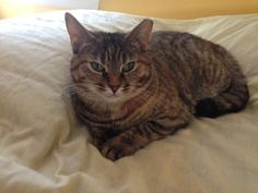 This is Sweet Pea! She is a year old and is a feral turned house cat. Sweet Pea was rescued from a colony of cats at Battleship Cove down here in Fall River only a week or so before hurricane Sandy struck. Since she was an older kitten, it took us a...