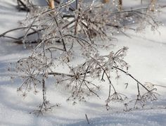 Ice Covered Queen Anne's Lace In Winter nature by AlecHartmanPhoto, $15.00