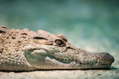 Philippine crocodile resting its head