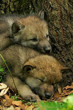 Les petits louveteaux se fatiguent vite.