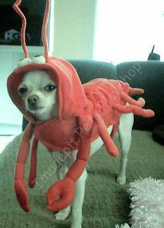Jack's costume.. Gabby has decided she will b Ariel the little mermaid, Jack will b Sebastian and I will b flounder:)