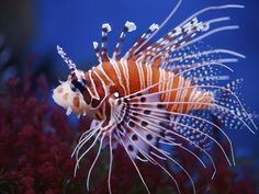 The exquisite red lionfish. Watch out for them -- it's their large venomous spines that make them resemble lions.