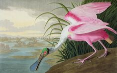 Thrill your walls now with a stunning John James Audubon print from the famous Birds of America Collection. Choose from various John James Audubon artworks printed on our high quality paper and on canvas. Audubon Prints, Audubon Birds, Painting Frames, Painting Prints, Fine Art Prints, Bird Paintings, Poster Online, Birds Of America, North America