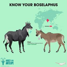 Know Your Nilgai Fun Facts About Animals, Animal Facts, Reptiles And Amphibians, Mammals, Animals For Kids, Animals And Pets, Zoo Animals, Types Of Crocodiles, Tiger Species