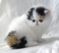 I need this cute little calico Persian kitten in my life!