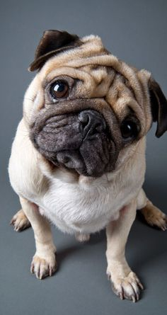 Cute #pug 852 x 1608 Wallpapers available for free download.