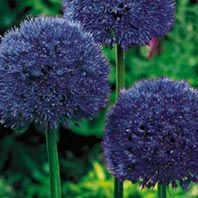 Allium aflatunense 'Purple Sensation' 50 Bulbs $28