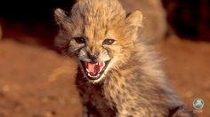 Geweldig nieuws: de Verenigde Arabische Emiraten verbieden het houden van exotische wilde dieren! Zodra de wet definitief ingevoerd wordt, moeten eigenaren hun wilde huisdieren binnen zes maanden overdragen aan de autoriteiten, anders riskeren ze hoge boetes en celstraffen. In 2011 verbood emiraat Ajman al het houden van exotische en wilde dieren en reptielen, in 2014 volgde emiraat Sharjah. Nu volgen dus alle emiraten, wat een grote stap in de goede richting!