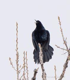 Great-Tailed Grackle ©Kevin Rutherford. Wild Bird Company - Boulder, CO, Saturday Morning Bird Walk in Boulder County - March 12, 2016.