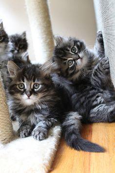 Siberian Kittens   Flickr - Photo Sharing!