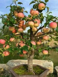 Egrow 100 Pcs/Pack Apple Tree Seeds Garden and Home Potted Fruit Red Apple Seed Bonsai Plants at shoppingdiscountsVery Rare Dwarf Apple Tree Sweet Fruit Planted Fruit Trees Seeds. Apple can adapt to most of the climate. Dwarf Fruit Trees, Fruit Plants, Bonsai Plants, Bonsai Garden, Fruit Garden, Garden Trees, Garden Plants, Indoor Fruit Trees, Bonsai Seeds