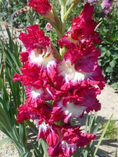 Gladiolus Aarylyn (Gladiolus)