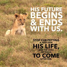 Want to do some volunteering abroad with lion cubs? Then ask yourself this first: Where is the mother of the cubs? Where are the cubs that are fully grown now? What actions are taken to succesfully reintroduce the cubs into the wild? The actual truth might shock you…#stopcannedhunting #savethelion