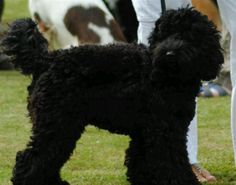 Grooming Tips: Cuts For Cockapoos | Cockapoo Crazy | All About Cockapoos