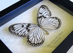 Rice Paper Idea D'urvillei Theia Real Butterfly In Museum Quality Shadowbox by ButterfliesArtist on Etsy