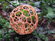 **Clathrus ruber is a species of fungus in the stinkhorn family, and the type species of the genus Clathrus.