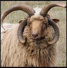 Iberian Churro Sheep - awesome horns!  Go to www.YourTravelVideos.com or just click on photo for home videos and much more on sites like this.