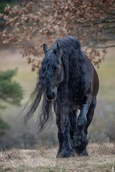 Friesian with long wavy mane blowing in the gentle wind while walking. Lone walking horse.