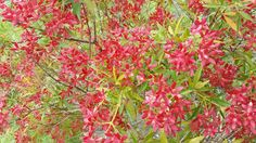 Australian Christmas Bush , you know that Christmas is around the corner when the flowers turn red Australian Wildflowers, Australian Christmas, Around The Corner, Wild Flowers, Plants, Red, Wildflowers, Plant, Planets