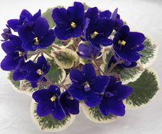 Cajun's Bluejean Queen  Source:  Bloomlovers